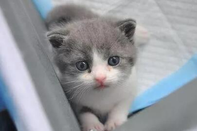 "cx11.net_我国首只自主哺育克隆猫出世避世 取名""大蒜""25万一只"
