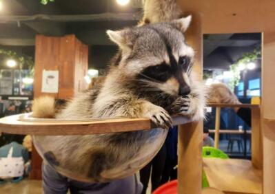 成都一咖啡店养浣熊揽客引发网友关注 官方:并非法律意义上保护动物