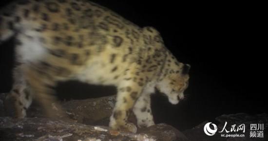 四姑娘山野生雪豹 在镜头前嗅闻和留下气味标记