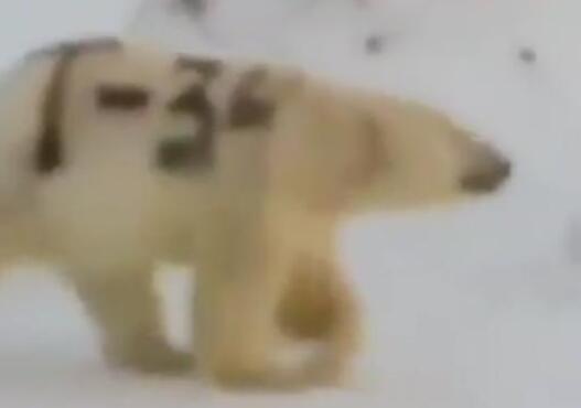 可恶至极!北极熊身上被涂字引关注 网友纷纷声讨此行为