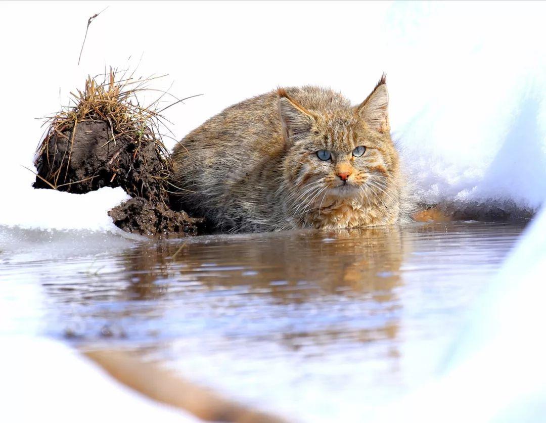 青海湖区域首次拍到中国特有种荒漠猫 已被列为濒
