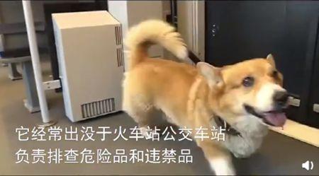 俄罗斯唯一一只柯基警犬退休 9岁的它将继续参加敏捷犬比赛