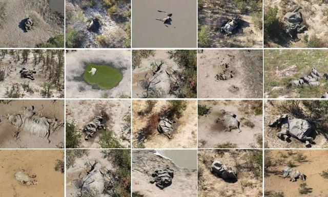 非洲350头大象接连离奇死亡,目前原因不明