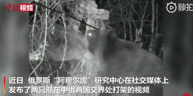 中俄边境两只熊打架,监控记录斗殴全过程