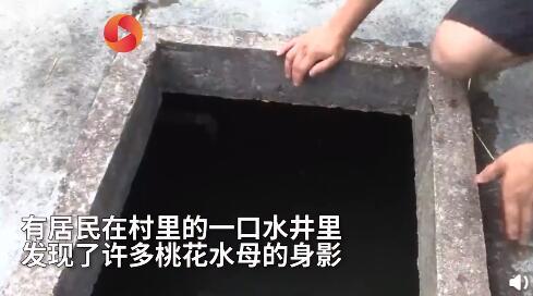 海南农家水井出现大量桃花水母 稀有程度媲美大熊猫