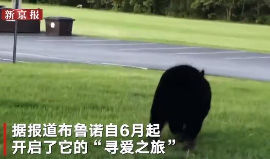 美国黑熊为脱单徒步650公里 超14万人时刻关注