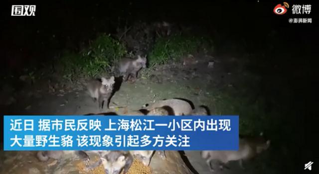 上海松江一小区现大量野生貉