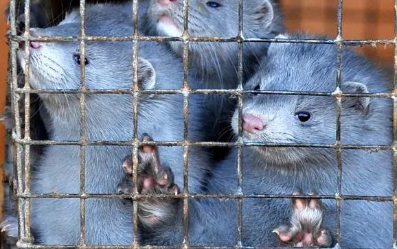 美国皮草养殖场上万只水貂死于新冠 造成损失惨重!