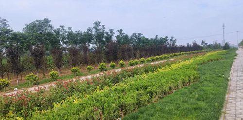 杞县:让乡土树种唱主角